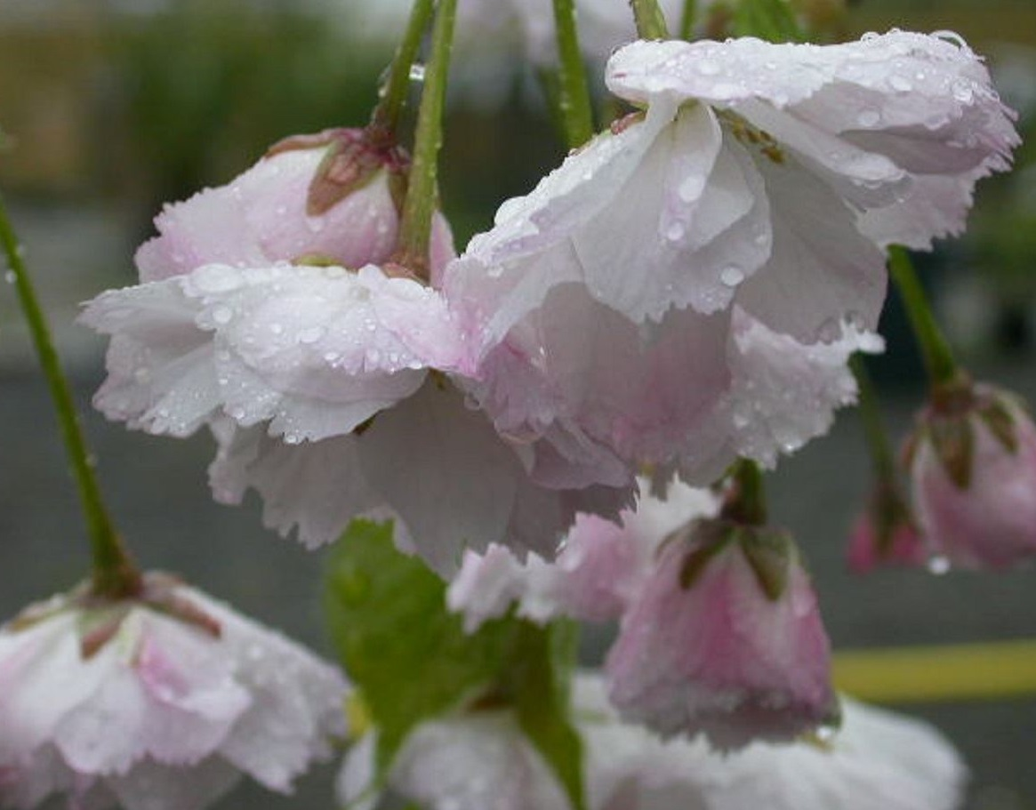 10 Of The Best Flowering Cherry Trees For Spring In The Uk Perfect