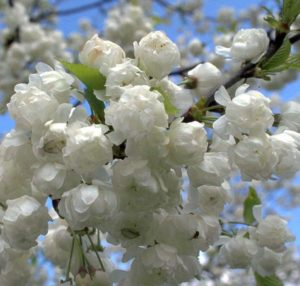 Prunus avium 'Plena', Plena, wild cherry, cherry tree, ornamental cherry, flowering cherry, cherry, tree, blossom, spring blossom, flowers, spring,