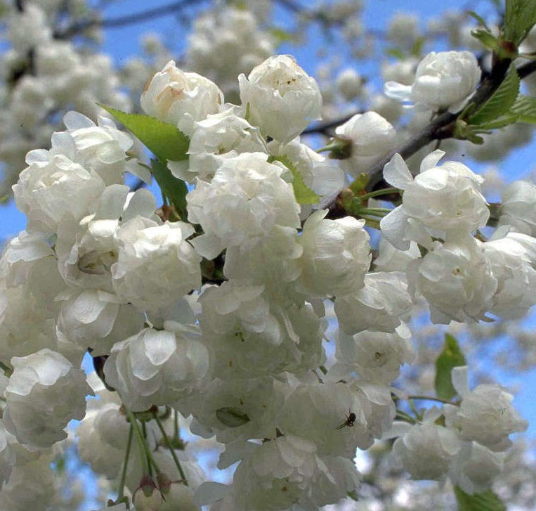 Small Ornamental Trees For Kansas: 10 Of The Best Flowering Cherry Trees For Spring In The UK