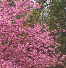 Prunus 'Kanzan', Prunus, cherry, cherry tree, flowering cherry, pink blossom, blossom, spring, flowers, tree, garden, gardening, perfectplants.co.uk, RHSAGM, rhs, choose a cherry tree, choose a flowering cherry,