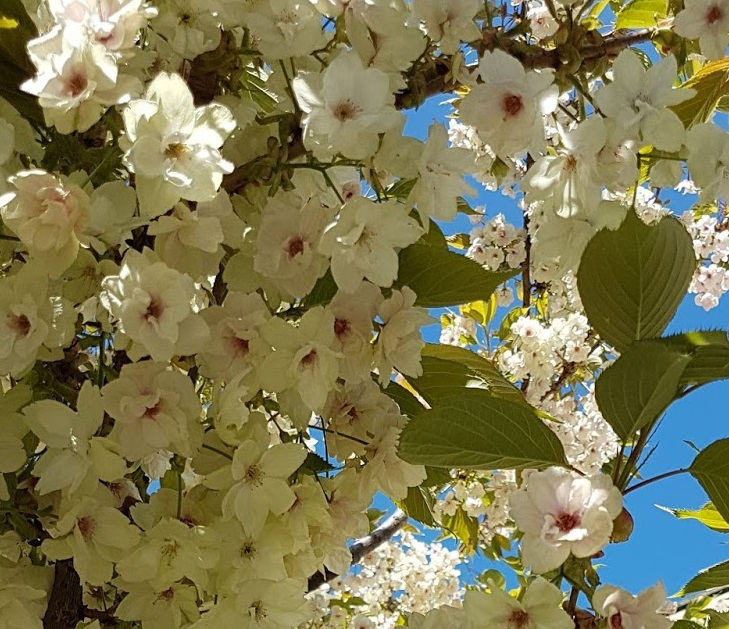 Which Flowering Cherry Tree Is The Best Here S 10 Excellent Ornamental Cherry Trees For Spring Blossom Buy Trees Shrubs Perennials Annuals House Plants Statues And Furniture