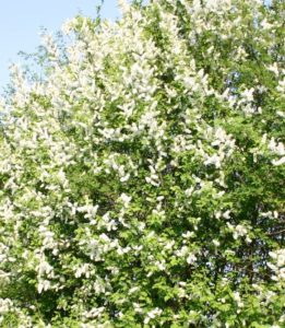 Prunus padus 'Watereri', Prunus padus, cherry tree, ornamental cherry, flowering cherry, cherry, tree, spring blossom, blossom, flowers, spring, garden, gardening, plant a tree, perfectplants.co.uk,