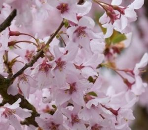 Prunus pendula f. ascendens 'Rosea' , Prunus, cherry tree, Rosea, ornamental cherry, blossom tree, spring blossom, blossom, tree, garden, gardening, RHSAGM, Perfectplants.co.uk,