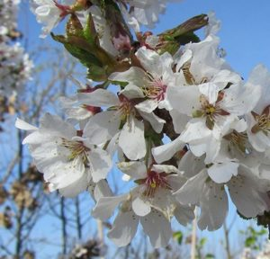 Prunus 'Yoshino', Yoshino, Yoshino cherry, cherry tree, flowering cherry, ornamental cherry, blossom tree, blossom, flowers, weeping tree, weeping, pendulous, cherry, prunus, tree, spring flowers, garden, gardening, rhsagm, perfectplants.co.uk,
