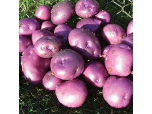 seed potatoes, arran victory, chitting, planting vegetables, gardening, march, spring planting, allotment, vegetable patch,