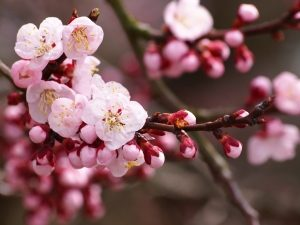 apricot, prunus, blossom, fruit trees, exotic fruit, patio fruit tree, perfectplants.co.uk, grow your own,