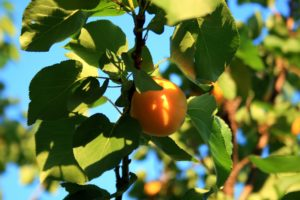 apricot, fruit tree, patio fruit, exotic fruit, grow your own, fruit, tree, perfectplants.co.uk, growing, gardening,