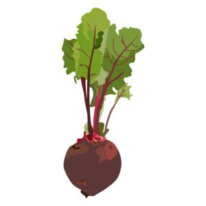 beetroot, grow your own, kitchen garden, growing, vegetables, allotment, grow, plants, kitchen, food, herbs, roots, perfectplants.co.uk,