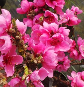 patio nectarine tree, prunus persica, nectarine, exotic fruit, pollination, bees, insects, fruit, spring, fruit tree, perfectplants.co.uk,