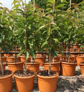 fruit tree in pot, fruit tree, nectarine, peach, perfectplants.co.uk, exotic fruit, tree, grow your own, fruit,