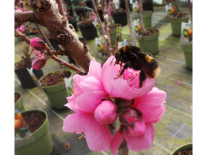 exotic fruit, bees, pollination, pollinator, blossom, flowers, insects, fruit, apricots, peach, nectarine,