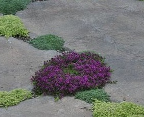thyme, thymus, herbs, cooking, paving, kitchen garden, grow your own, aromatic, golden thyme, perfectplants.co.uk,