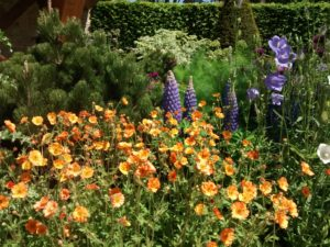 planting, flowers, flowering plants, garden, gardening, lupins, poppies, colour, perfectplants.co.uk,