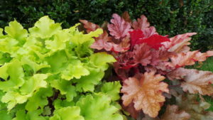 Heuchera, foliage, green, variegated, contrasting colours, green foliage, purple foliage, lime green, perfectplants.co.uk,