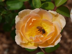 roses, rose, blooms, insects, biodiversity, wildlife, wildlife friendly, flowers, garden, single flowers, perfectplants.co.uk,
