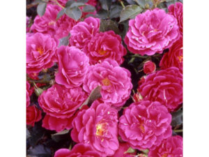 rosa 'blooming marvellous', blooming marvellous, rose, climbing rose, pink rose, red rose, garden, climber, rambling rose, perfectplants.co.uk,