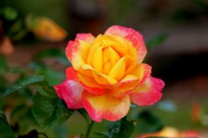 scent, rose, roses, thorns, flowers, garden, summer, blooms, perfectplants.co.uk,