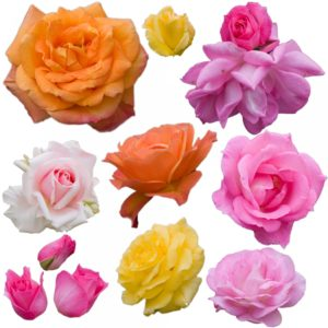 rose, roses, pink rose, red rose, yellow rose, apricot rose, flower, colour, garden,