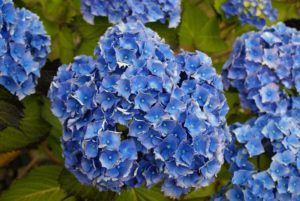 hydranga, flowers, blue flowers, hydrangea flowers, turning blue, add lime, ph levels, acid soil,