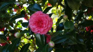 camellia, acid, ph level, soil, coffee grounds, mulch, plants, shrubs, garden, gardening,