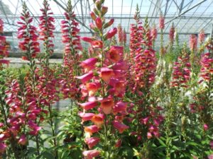 digitalis, foxglove, flowers, growing, garden, pollen, sneezing, gardening, hay fever, summer, allergies, allergy,