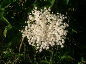 elderflowers, natural remedies, bug spray, insecticide, pests, garden, gardening, flowers, perfectplants.co.uk,