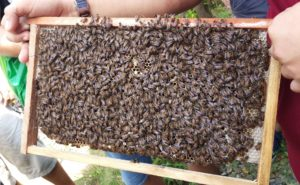 bee, swarm, bee swarm, swarm of bees, folklure, pollinator, insects, garden, gardening, granny, wise,
