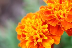French marigold, marigold, planting companion, bug control, plant pests, pests, disease, allotment, growing, vegetables, kitchen garden,