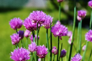 chives, apple trees, pests and diseases, growing, herbs, grow your own, vegetables,