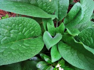 comfrey, garden, herb, growing, plant feed, eating, kitchen garden, infusion, grow your own,