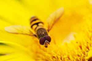 hoverfly, pests, disease, growing, vegetables, allotment, kitchen garden, planting companion,