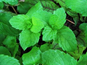 Mint, herbs, vegetables, garden, growing, pests, deterrent, gardening, allotment, flies, mosquitoes, protection,