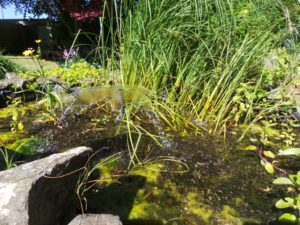 water feature, pond, bog garden, bog, planting, pond plants, wildlife in the garden, wildlife, water, frogs, newts, pond life,