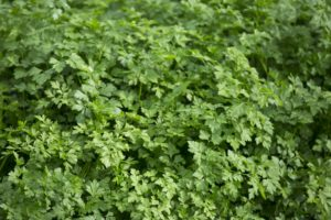 parsley, garden, growing, gardening, herbs, seeds, kitchen garden, folklore, perfectplants.co.uk,
