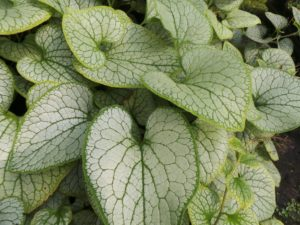 brunnera 'silver spear', brunnera, silver spear, plants for shade, foliage plants, groundcover, garden, gardening, perfectplants.co.uk,