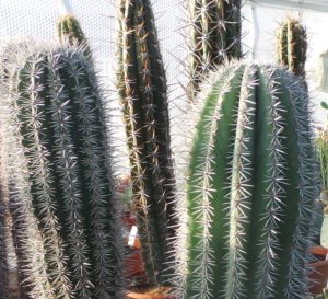 cactus, scorpio, star sign, zodiac, plants, house plant, houseplants, home, prickles, succulent, perfectplants.co.uk,