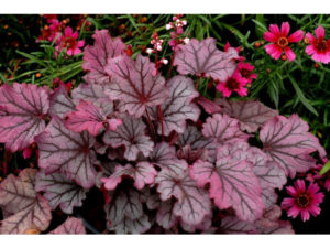 heuchera, sugar berry, groundcover, water conservation, plants for shady places, garden, plants, gardening,