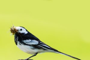 wagtail, insects, mosquitoes, biological control, bugs, garden, gardening, insect bite, horsefly, horseflies, perfectplants.co.uk,