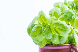 basil, herb, insect repellent, biting insects, bite, itch, horsefly, horseflies, mosquitoes, bugs, garden, gardening, perfectplants.co.uk,