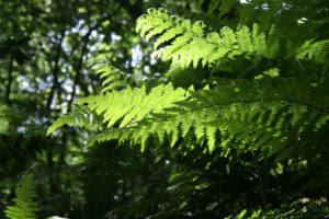 fernery, ferns, garden ferns, shady places, plants for shade, fern, cool, garden, gardening, perfectplants.co.uk,