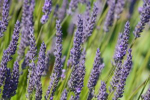 lavender, silvery foliage, drought tolerant, drought resistant, leaves, summer, dry, drought, garden,