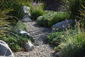 drought tolerant, drought resistant, dry weather, plants, silvery foliage, water loss, drought, planting, summer, dry, water, flowers, garden, gardening,