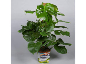 monstera, cheese plant, cheeseplant, house plant, houseplant, foliage, swiss cheese, interior, aries, zodiac plant, star sign, perfectplants.co.uk,