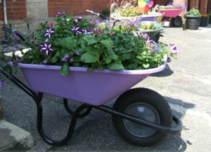 annuals, plants, flowers, containers, pots, watering, drought, wheelbarrow, robertsbridge, garden, gardening, hosepipe, perfectplants.co.uk,