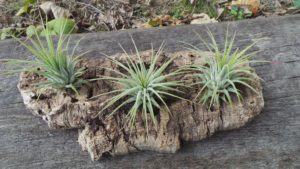 tillandsia, air plant, house plant, houseplant, indoor plant, gemini, twin personality, living art, zodiac star sign, perfectplants.co.uk,