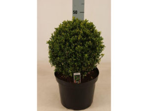 buxus, box balls, box hedging, box, garden, topiary, clipping, perfectplants.co.uk, evergreen shrub, shrub, evergreen,