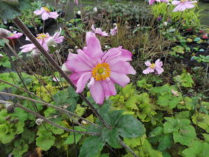 japanese anemone, plants for light shade, shade loving plants, shady places, planting for shade, whirlwind, anemone, perfectplants.co.uk,