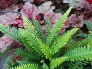 ferns, dry shade, shady places, heuchera, garden shade, foliage plants, blechnum, palace purple, fire chief, garden, gardening, planting,