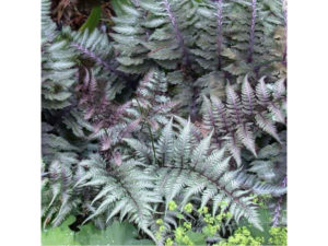 athyrium, metallicum, fern, shade planting, plants for shady places, dry shade, garden, gardening, planting, perfectplants.co.uk,