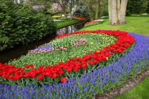 bulbs, flowering, flowers, spring flowering bulbs, tulips, scillas, muscari, daffodils, park, garden, gardening,